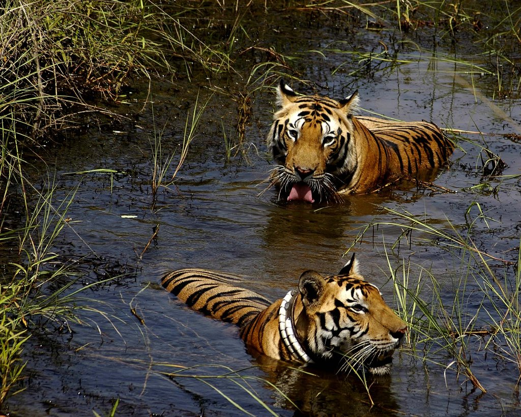 wildlife tiger and national park A guide to the best places in the world to see wild tigers, such as bengal tigers in india's national parks or sumatran tigers in indonesia.